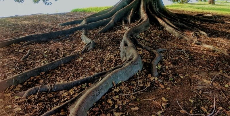 tree with big roots on ground